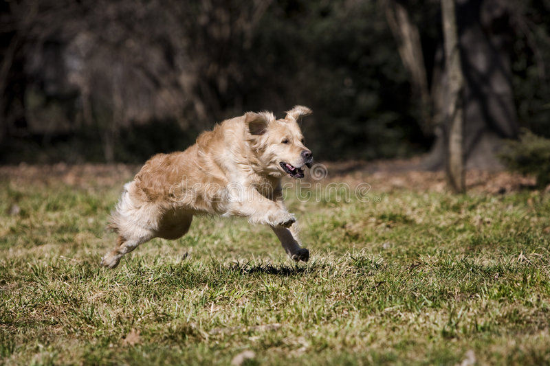 Golden retriever. Young golden retriever running fast royalty free stock photography