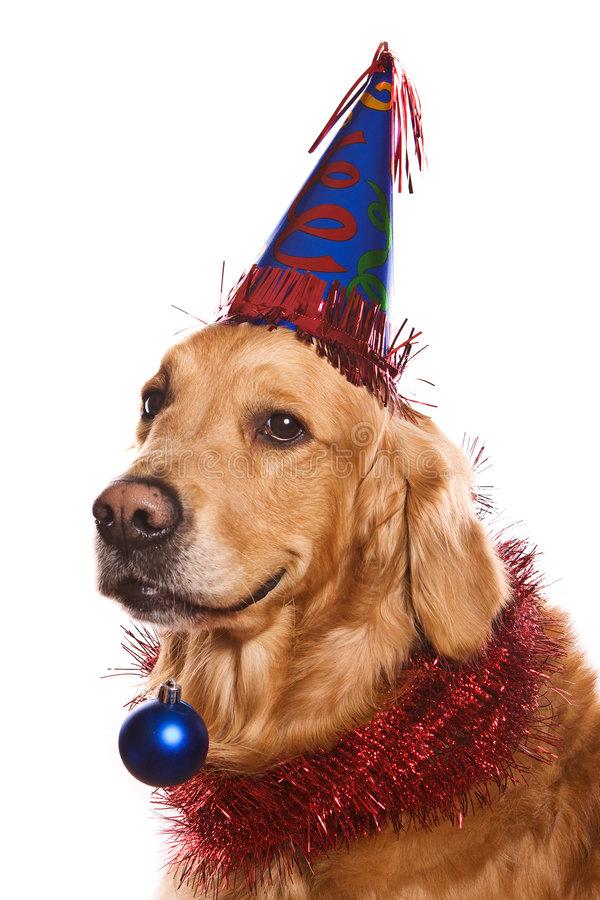 Download Golden retriever stock photo. Image of celebration, cute - 7207490