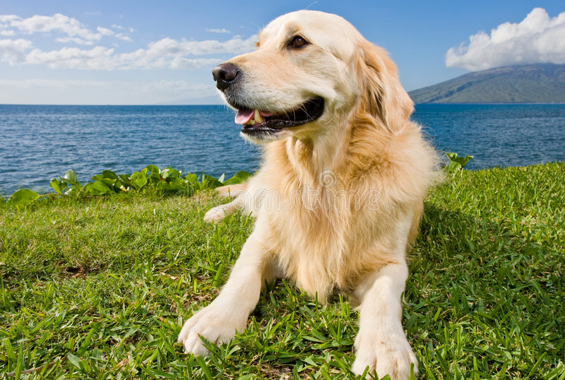 Golden Retriever. On Green Grass by Ocean royalty free stock image