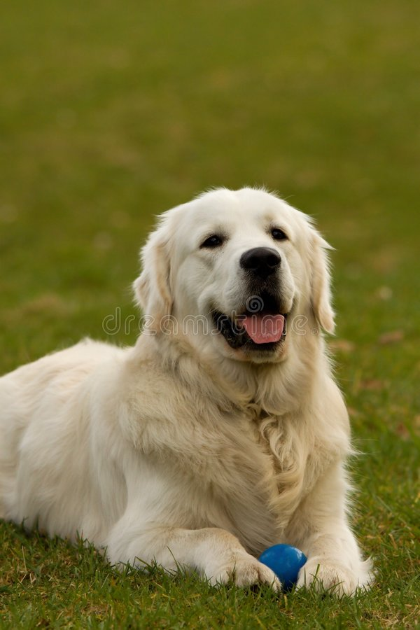 Download Golden retriever stock image. Image of watching, colorful - 8758593