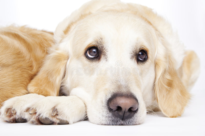Download Golden Retriever stock photo. Image of adult, breed, calm - 8822406