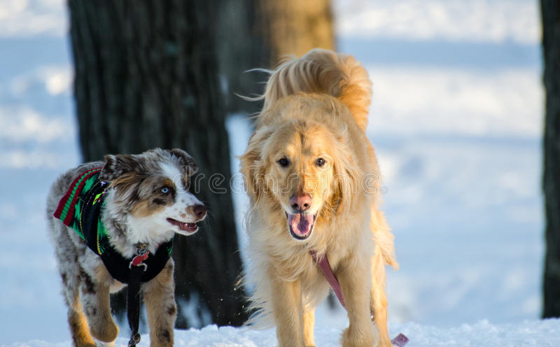 Golden Retriever and Australian Shepherd Dogs playing in Snow. Merle Aussie puppy with blue eyes and Golden Retriever Dog walking in Snow in winter cold wagging royalty free stock photo