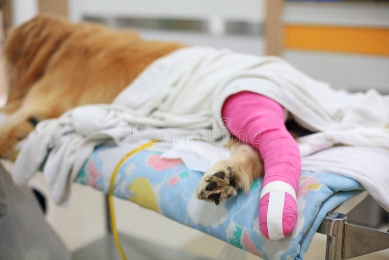 Golden retriever avec le bandage rose après chirurgie vétérinaire images libres de droits