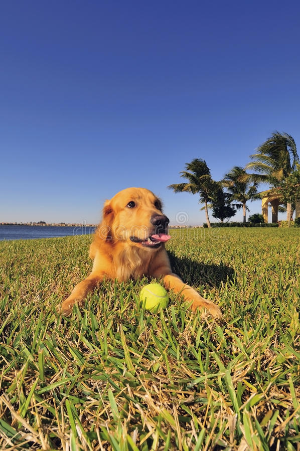 Download Golden Retriever with ball stock image. Image of friend - 17583135