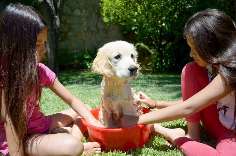 Golden Retriever Bath Time Royalty Free Stock Photos