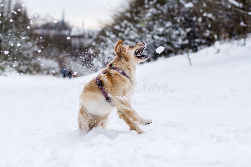 Golden Retriever bawić się w śniegu i chwytającym śniegu zdjęcia stock