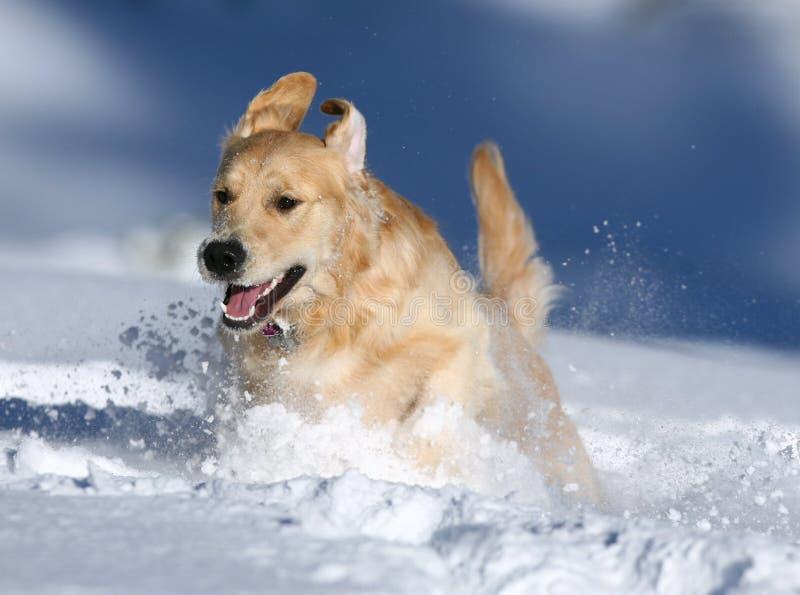 Golden Retriever bawić się w śniegu, Niedźwiadkowa dolina, Kalifornia zdjęcie stock