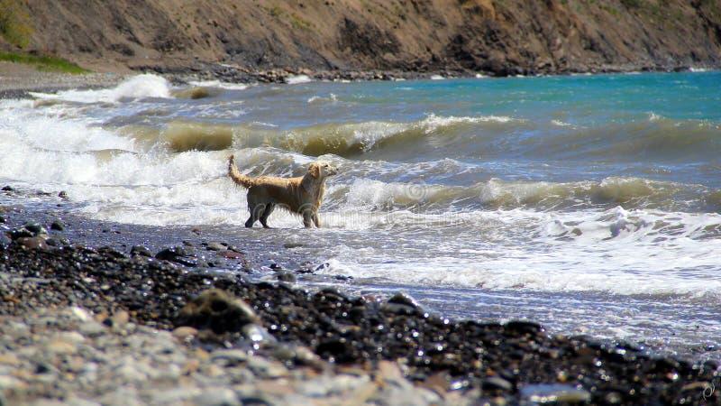 Golden retriever on the beach stock image