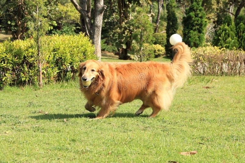 Golden retriever biega niosący gumową piłkę zdjęcia stock