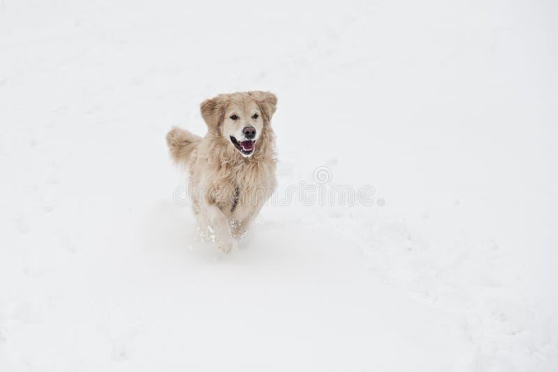 Golden retriever biega szybko nad śniegiem zdjęcie stock