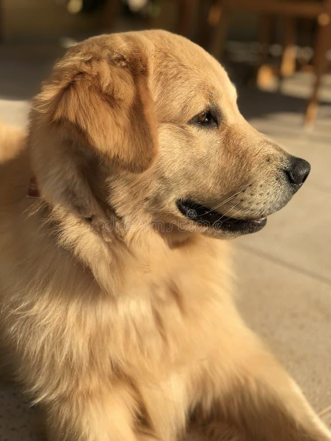 Golden retriever bij de zon stock foto