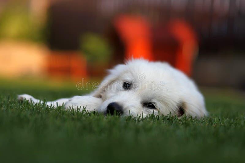 Golden retriever blanco perezoso en hierba imagen de archivo