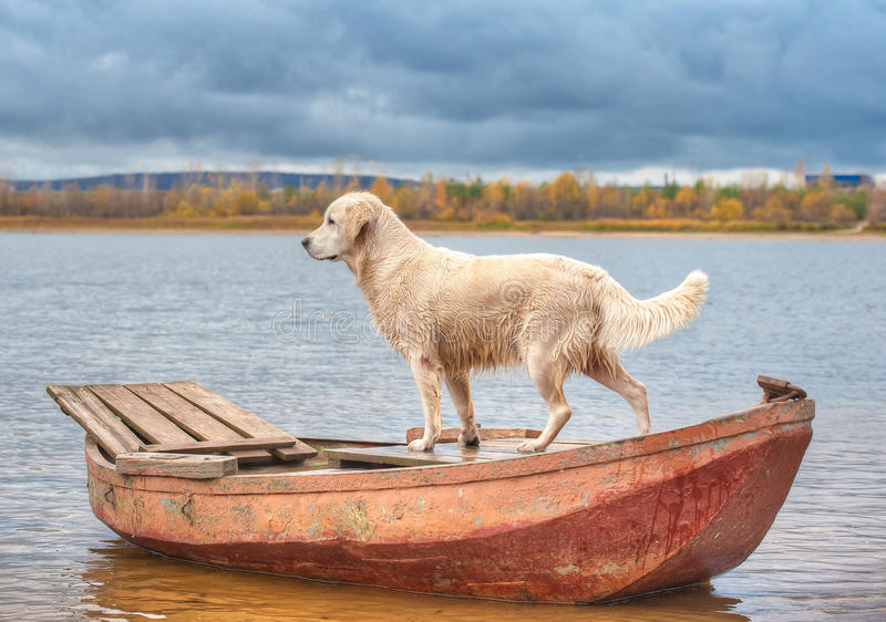 Golden retriever on the boat royalty free stock photography