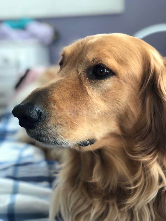 Golden retriever bonito com olhos de Brown fotografia de stock