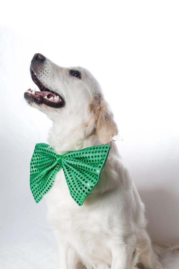Golden retriever branco com laço verde do ` s de St Patrick imagem de stock