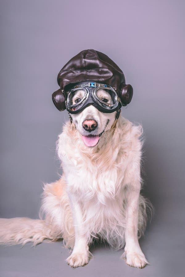 Golden retriever branco com o capacete do aviador do vintage e óculos de proteção contra um fundo sem emenda cinzento foto de stock