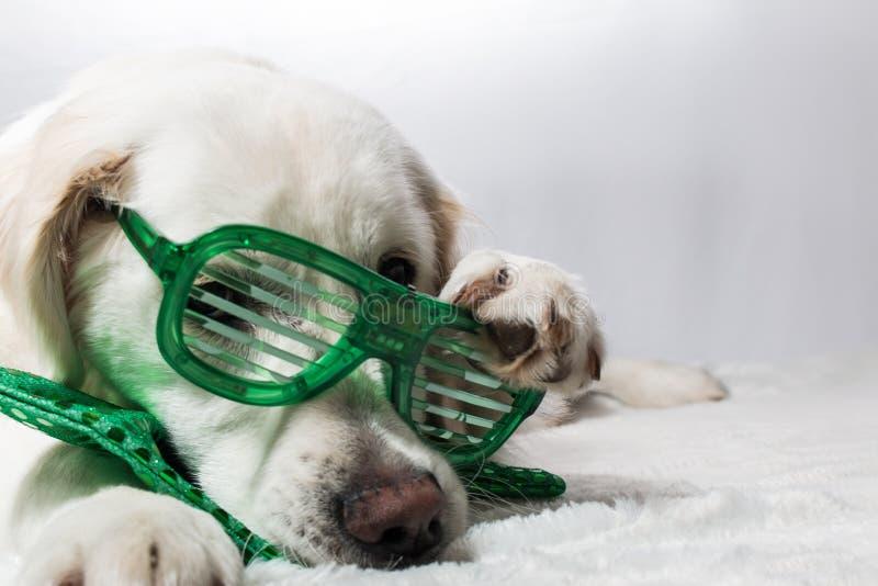 Golden retriever branco com vidros verdes do partido do ` s de St Patrick fotos de stock royalty free