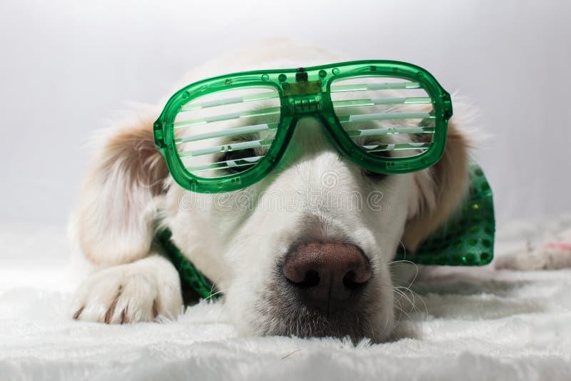 Golden retriever branco com vidros verdes do partido do ` s de St Patrick imagens de stock royalty free