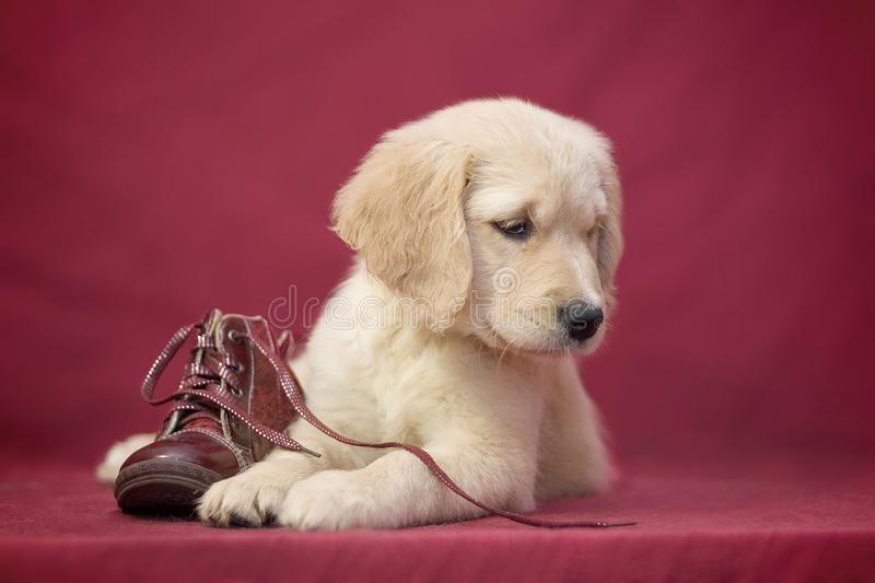 golden retriever breed near a boot on a red background royalty free stock image