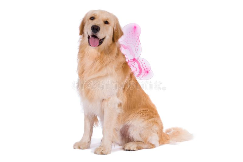 Golden Retriever with butterfly wings stock photo