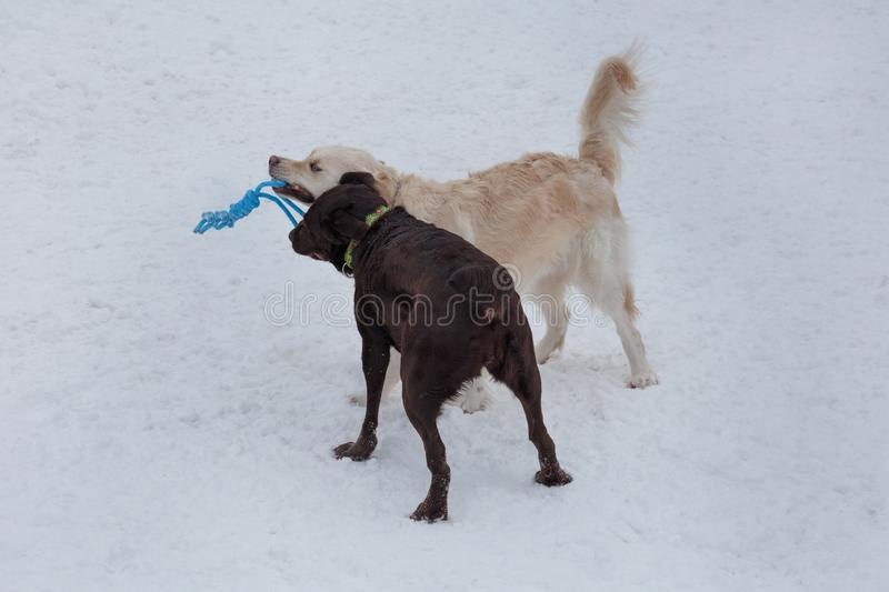 Golden retriever and chocolate labrador are playing on a white snow with his toy. Pet animals. Purebred dog stock image