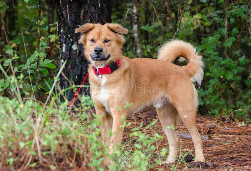Golden Retriever Chow mixed breed dog. Walton County Animal Control, humane society adoption photo, outdoor pet photography royalty free stock images