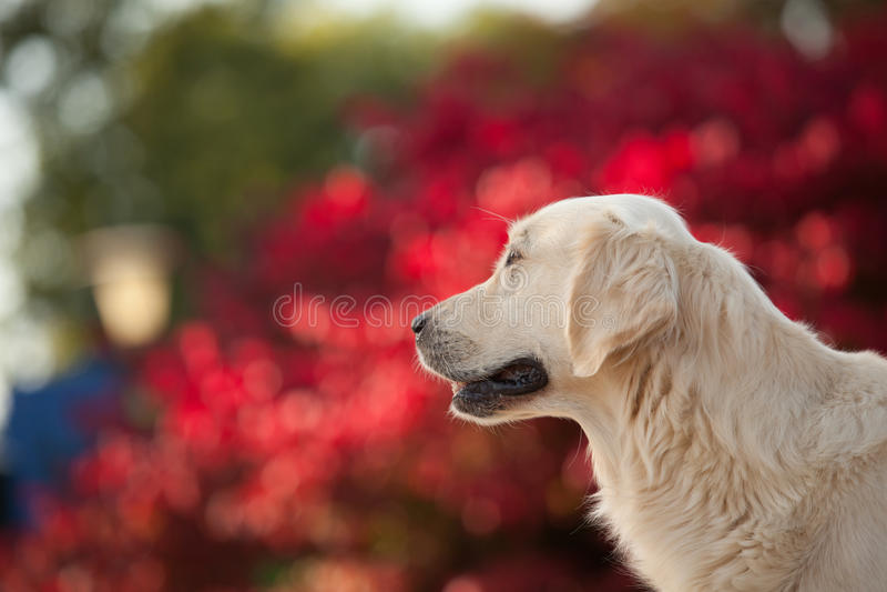 Golden retriever con il fondo rosso di Bokeh fotografie stock