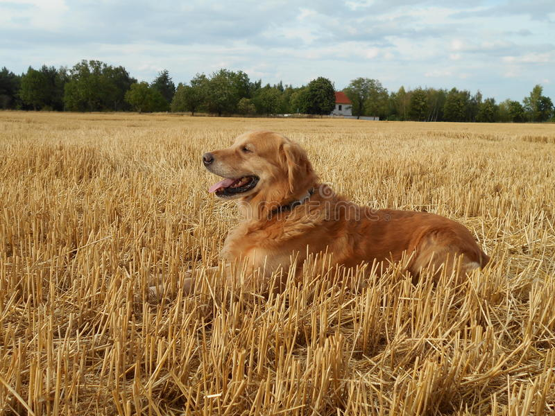 Golden retriever in the cornfield. Golden retriever in the has - field royalty free stock photography