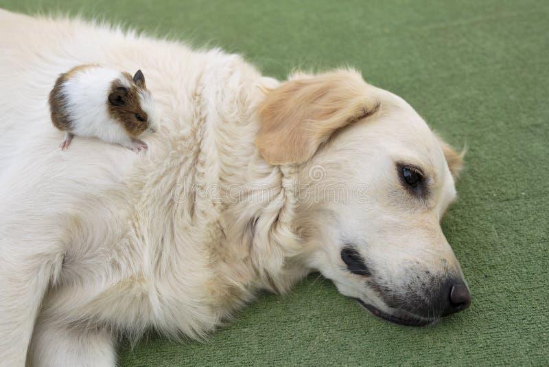 Golden retriever da raça do cão imagem de stock royalty free