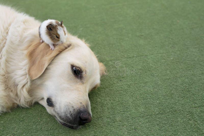 Golden retriever da raça do cão fotos de stock