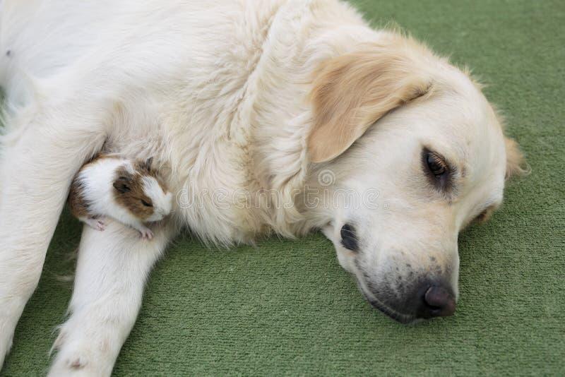 Golden retriever da raça do cão imagem de stock