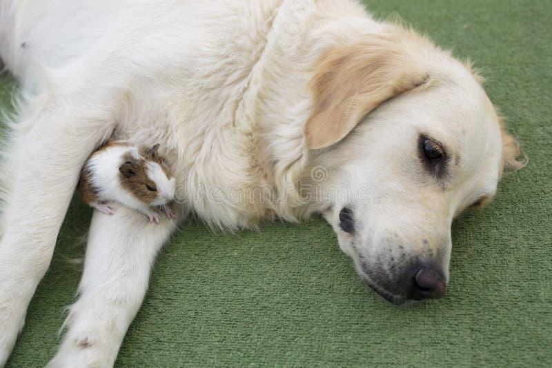 Golden retriever da raça do cão foto de stock royalty free