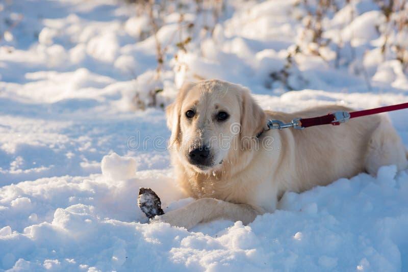 Golden retriever dans la neige profonde L'hiver en stationnement images libres de droits