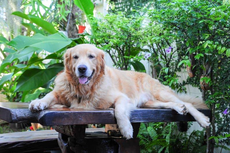 Golden retriever, das auf Holztisch legt lizenzfreie stockbilder