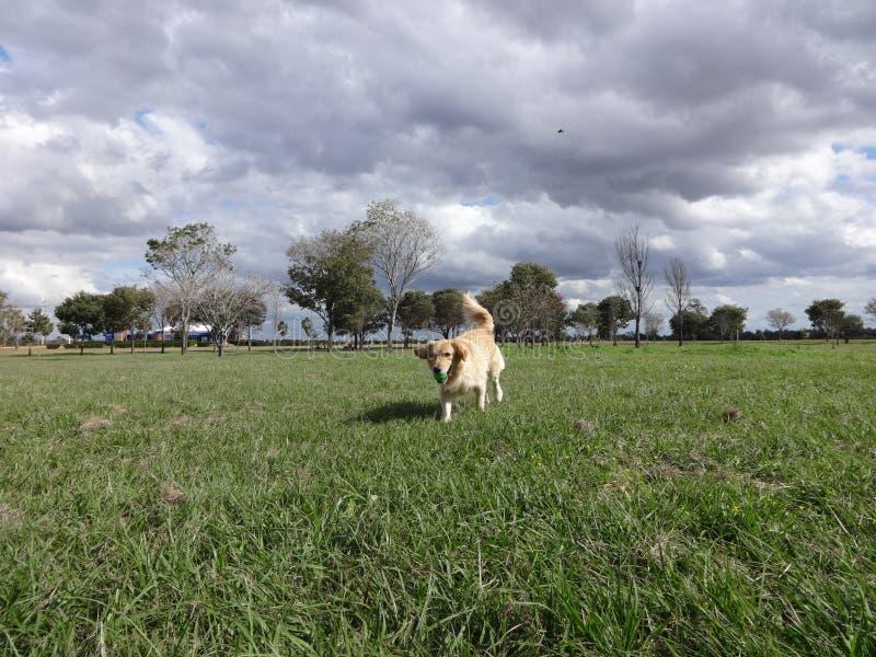 Golden retriever, das im Park ruuning ist lizenzfreie stockbilder