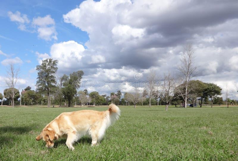 Golden retriever, das im Park schnüffelt stockfoto