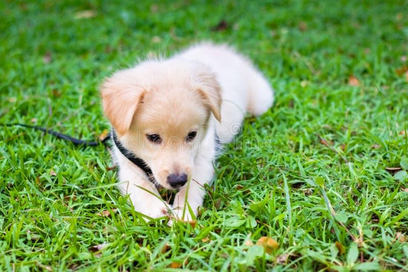 golden retriever de chiot sur le parc, regard de chiot de chien d'arrêt photos libres de droits