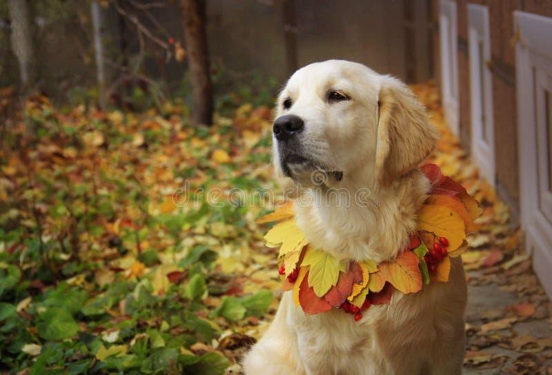 golden retriever in de herfstpark stock fotografie
