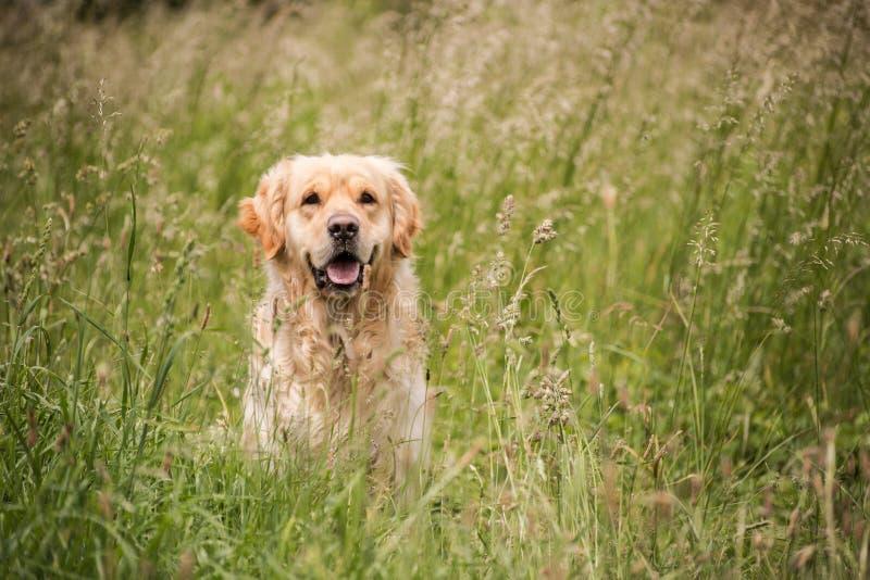 Golden retriever in de weide royalty-vrije stock fotografie