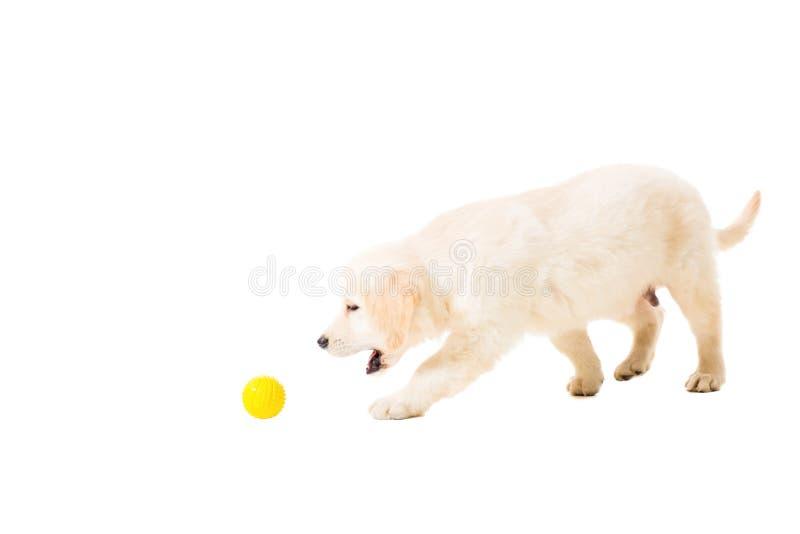 Golden retriever del perrito en un fondo blanco imagenes de archivo