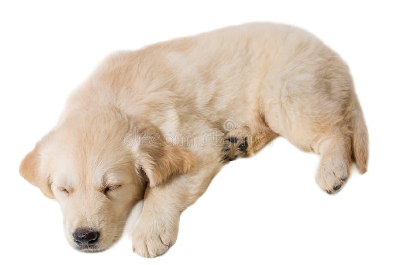 Golden retriever del perrito en un fondo blanco fotos de archivo libres de regalías