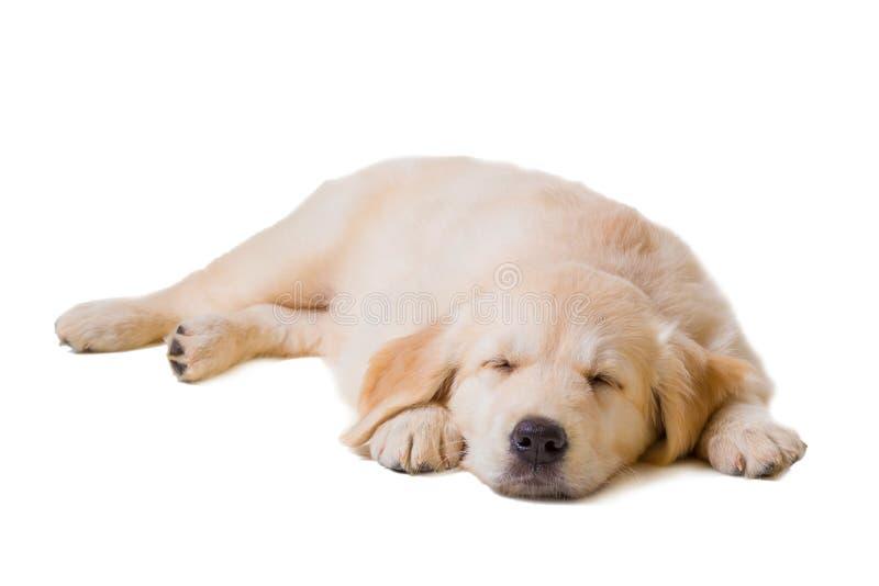 Golden retriever del perrito en un fondo blanco fotografía de archivo