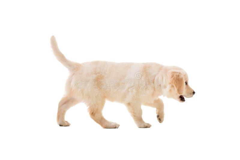 Golden retriever del perrito en un fondo blanco fotografía de archivo libre de regalías