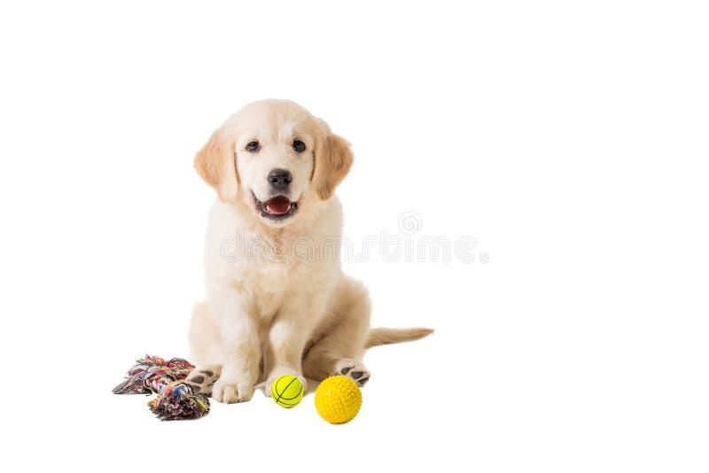 Golden retriever del perrito en un fondo blanco imagen de archivo libre de regalías