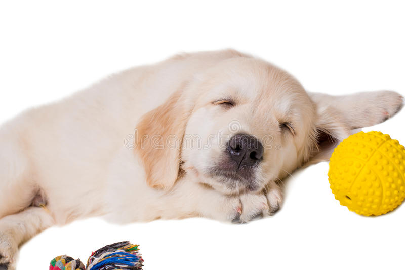 Golden retriever del perrito en un fondo blanco aislado fotos de archivo