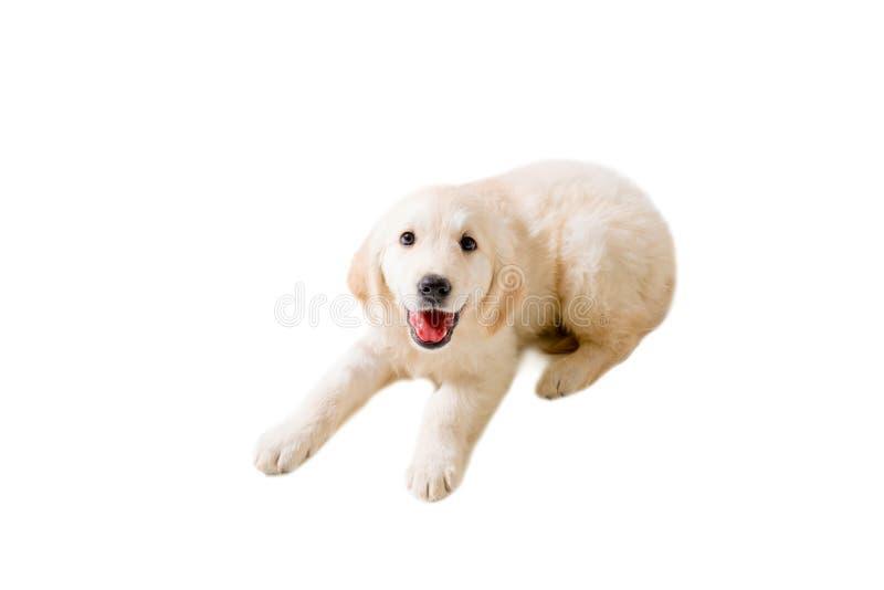 Golden retriever del perrito en un fondo blanco aislado imagenes de archivo
