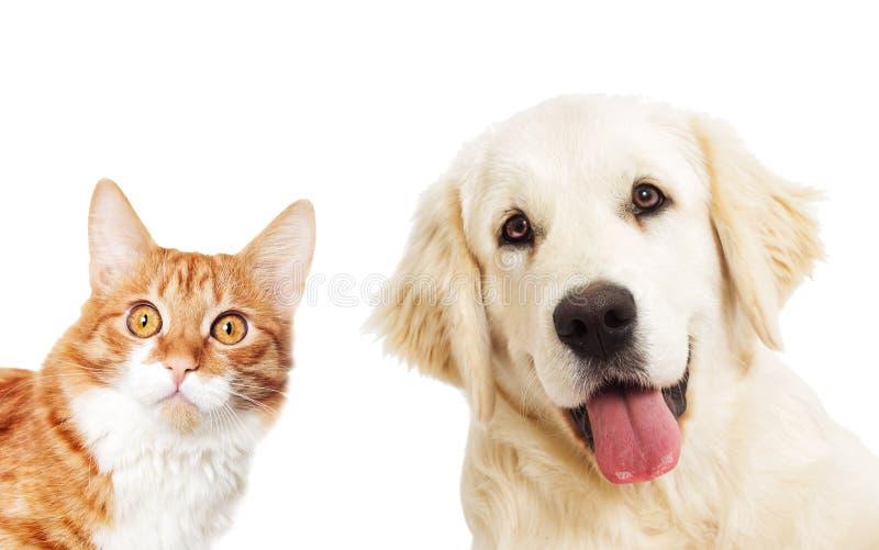 Golden retriever del retrato y mirada del gato del jengibre fotografía de archivo