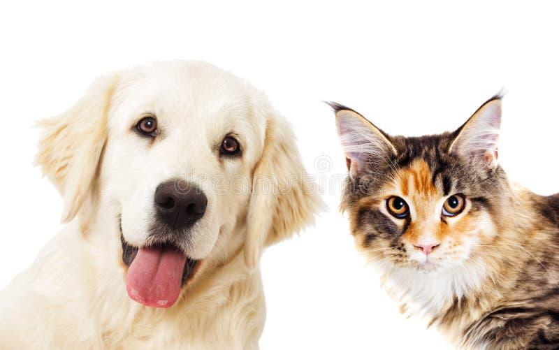 Golden retriever del retrato y mirada del gato del jengibre imágenes de archivo libres de regalías