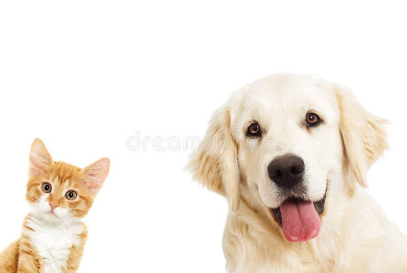 Golden retriever del retrato y un gatito fotos de archivo