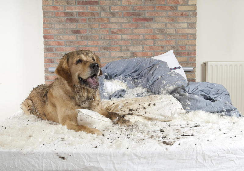 Golden retriever demolishes a pillow. On a bed in a bedroom royalty free stock photos